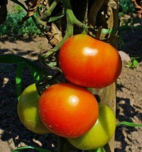 Високоврожайний томат «ілліч f1»: опис невибагливого сорти