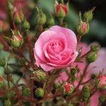 Захворювання троянд і їх лікування