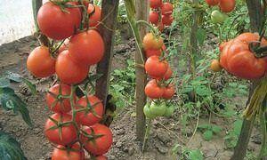Чудовий гібридний сорт томата універсального призначення - помідори «інтуїція»