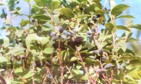 Жимолость їстівна: агротехніка, хвороби і шкідники і боротьба з ними