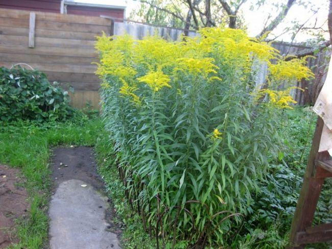 Золотарник в городі і квітнику: догляд, посадка, ідеї використання