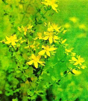Звіробій - трава від дев`яноста дев`яти хвороб, збір трави, рецепти
